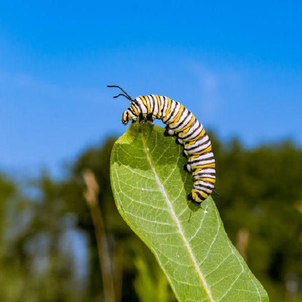 Caterpillars that feed on our herbs turn into beautiful butterflies.